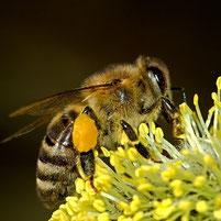 abeille butinant pour miel et goûter d'antan en deux-sevres