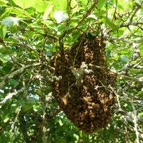 Un essaim dans le jardin chez miel et gouter d'antan 79