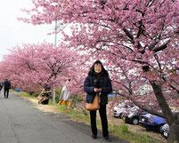焼津では、河津さくらが満開でした。