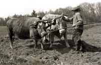 Les vaches et l'homme