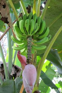 So wachsen sie, die Bananen!