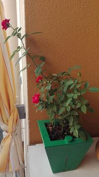 Rosa in Miniatura in Coltura Idroponica Aiutiamola Con #AcquaBase