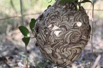 藪に多いのは狂暴なオオスズメバチではないコガタスズメバチが多いようです。