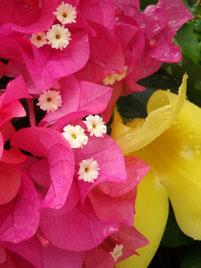 ピンクのブーゲンビリヤの中に見える白い小さいのが花。