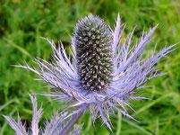 fleur de montagne - appartement chardon bleu