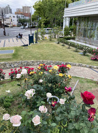 平塚市役所 東側のバラの花壇 2021年5月11日