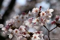 さくら(ソメイヨシノと八重桜)