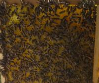 Warum Bienensterben?