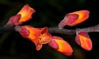 Dyckia montezumensis (Foto: Leme)