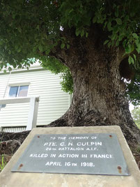 Culpin memorial tree at the front of the Eumundi School of Arts