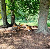 Damwild liegt unter Laubbäumen im Botanischen Volkspark Blankenfelde in Berlin. Foto: Helga Karl