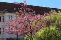 Cecilienstrasse im April: blühender Japanischer Kirchbaum in der Wohnanlage Ceciliengarten. Foto: Helga Karl