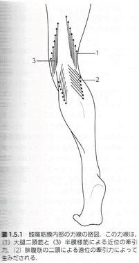 膝窩筋膜内部の力線の略図