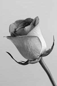 une rose blanche en tissu à tige épaisse, dressée en diagonale gauche