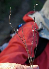 de petites graines enrobées de calcaire, semblables à des oeufs