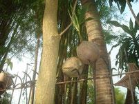 Kokosnuss am Spieß