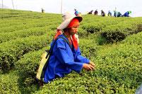 Spannende Nordthailand-Rundreisen zu Teeplantagen in Chiang Rai.