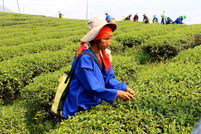 Exciting round trips to tea plantations in Chiang Rai.