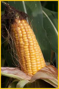 Längst diktieren große Agrar-Multis, wer was zu welchen Bedingungen und Preisen produzieren und verkaufen darf. Und sie lassen nichts unversucht, auch Europa mit genmanipulierten Saatprodukten zu kontaminieren.