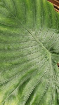 カエルが乗りそうな葉の写真フリー素材 Photo free material of leaves that frogs are likely to ride