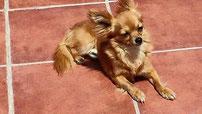 Foto de perro adulto de raza chihuahua macho de pelo largo de color rojo de los criadores de chihuahua con afijo De Alba Dog de Valencia, Comunidad Valenciana, España, venta de chihuahuas, cachorros chihuahua de pelo corto y largo en venta
