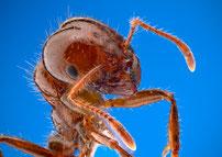 強い毒性を持つヒアリ
