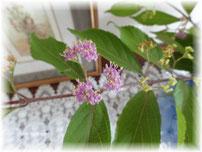 ☆青い紫陽花は・・