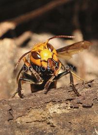 オオスズメバチの口器    長谷川 範明