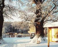 Winter im Haustierpark bei den uralten 600 Jahre alten Eichen