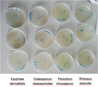 Wachstum vier verschiedener Schimmelpilzen nach 24 Stunden. Mit Behandlung durch DCXF