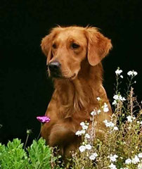 Gundog´s Choice Dynasty