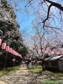 石上神宮 桜