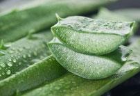 Quatre végétaux sont indispensables au bien-être de l'homme : le blé, le raisin, l'olive et l'aloés. Le premier le nourrit, le second élève son esprit, le troisième lui apporte l'harmonie