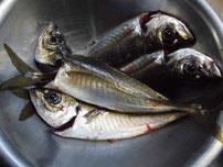 掛淵漁港でアジング・アジ釣り!