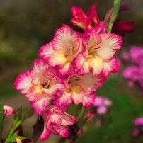 Gladiole - beliebte sommerliche Schnittblume