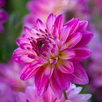 Dahlie - klassisches Dahlienfeuer & Blume der Avantgarde