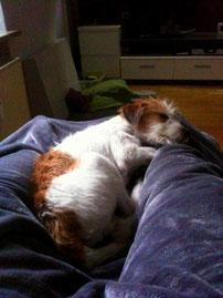 Erholung nach dem Training auf dem Sofa zwischen Frauchens Beinen.