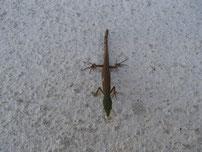 庭で見つけたカナヘビの写真