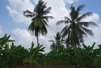 Bananen und Kokospalmen