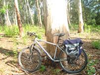 durch den Eucalyptuswald