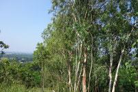 vorbei an hohen Eucalyptusbäumen