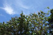blühende Teakbäume