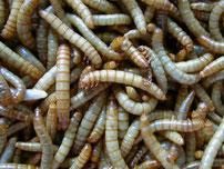 Mehlwürmer- Fluch oder Segen? Foto: Karsten