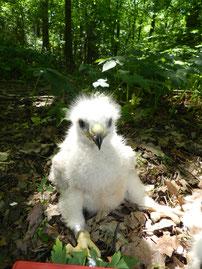 Jungvogel bei der Beringung. Foto: S. Löw