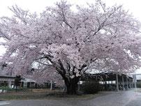 満開の桜(岡崎市内東レ)