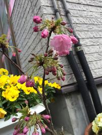 佐倉市のかぶらぎ整骨院の桜
