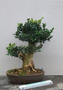 Buchsbaum (10.10.2012)