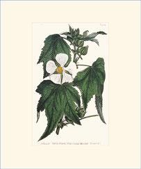 Vine-leaved Kitaibelia