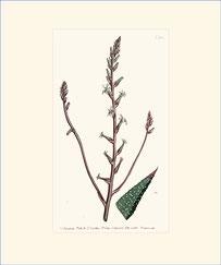 Pearl-leaved Aloe