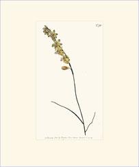 Carex-leaved Hesperantha